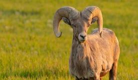 大角野绵羊闭上眼睛并且看上去咧嘴 免版税库存照片