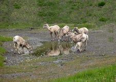 大角野绵羊饮用水在彼得Lougheed省公园 库存照片