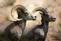 大角野绵羊 免版税库存照片