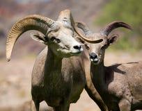大角野绵羊 库存图片