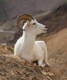 大角野绵羊 图库摄影