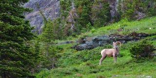 大角野绵羊(Ovis canadensis) 免版税库存图片