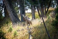 大角野绵羊二 图库摄影