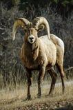 大角野绵羊公羊注视 免版税库存照片