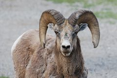 大角野绵羊凝视 免版税库存照片