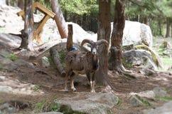 大角野绵羊在森林里 免版税库存照片