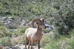 大角野绵羊在沙漠 免版税库存照片