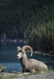 大角野绵羊在班夫国家公园 库存图片