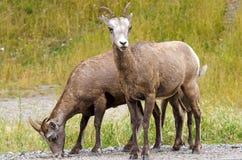 大角野绵羊在贾斯珀国家公园 库存图片