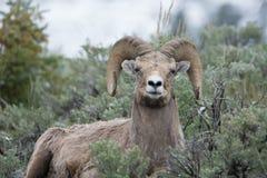 大角野绵羊在黄石国家公园 免版税库存图片