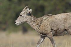 大角野绵羊外形  免版税库存图片