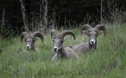 大角野绵羊小组放松 库存照片
