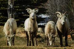 大角野绵羊小组 免版税库存图片