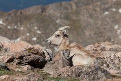 大角野绵羊母羊供住宿与她的羊羔 免版税库存照片