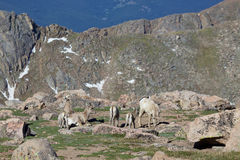 大角野绵羊母羊和羊羔在高山 免版税图库摄影