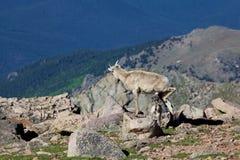 大角野绵羊母羊和羊羔护理 免版税库存照片