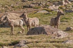 大角野绵羊母羊和羊羔 库存照片