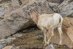 大角野绵羊母羊在科罗拉多 库存照片