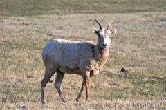 大角野绵羊母羊在Custer国家公园在南达科他黑山  库存图片