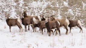 大角野绵羊牧群在冬天在恶地国家公园 图库摄影