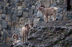 大角野绵羊牧群 免版税库存照片