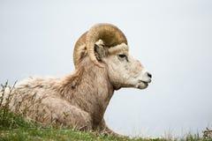 大角野绵羊猛撞说谎在草反对灰色背景 免版税图库摄影