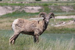 大角野绵羊羊属canadensis恶地国家公园春天 免版税库存图片