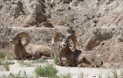 大角野绵羊羊属canadensis恶地国家公园春天 免版税图库摄影