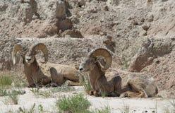 大角野绵羊羊属canadensis恶地国家公园春天 库存图片