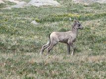 大角野绵羊羊羔 库存照片