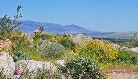 大角野绵羊,加利福尼亚 免版税库存照片