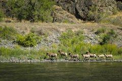 大角野绵羊,地狱峡谷,爱达荷 图库摄影