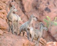 大角野绵羊,火国家公园, NV谷  库存照片