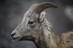 大角野绵羊年轻人 免版税库存照片