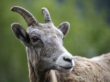 大角野绵羊年轻人 库存照片