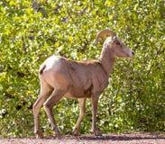 大角野绵羊-羊属canadensis纳尔逊 国家公园美国犹他zion 库存图片