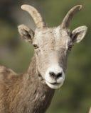 大角野绵羊画象  库存照片