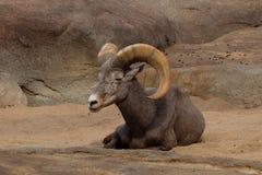 大角野绵羊 免版税图库摄影