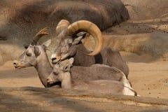 大角野绵羊 库存照片