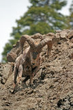 大角野绵羊Ram下降的岩石面孔峭壁在黄石国家公园在怀俄明 免版税库存图片