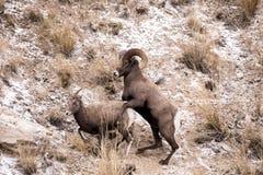 大角野绵羊Ram和母羊 库存图片