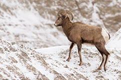大角野绵羊Ram在冬天在恶地国家公园 免版税库存照片