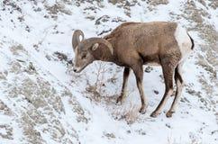 大角野绵羊Ram在冬天在恶地国家公园 库存照片
