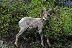 大角野绵羊Ram在黄石国家公园在怀俄明 免版税库存图片