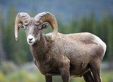 大角野绵羊Ram 免版税库存照片