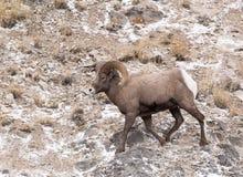 大角野绵羊Ram 免版税库存图片
