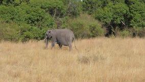 大计划,巨大的非洲大象在左右的大草原去 股票录像
