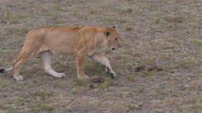 大计划,幼小狮子在党审阅大草原和周期性地看 股票视频