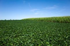 大豆和玉米 免版税库存图片