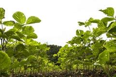 大豆在日落的领域行 图库摄影